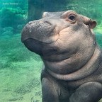 Houghton Mifflin Harcourt to Publish Children's Book about Internet Sensation, Cincinnati Zoo's Baby Hippo Fiona