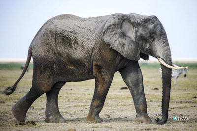 Global momentum to shut down ivory markets provides reason to celebrate on World Elephant Day. ©IFAW/J. Cumes