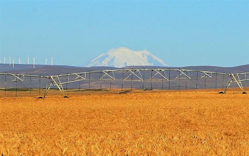 Organic Wheat Field at Cascade Organic Farms in Washington State