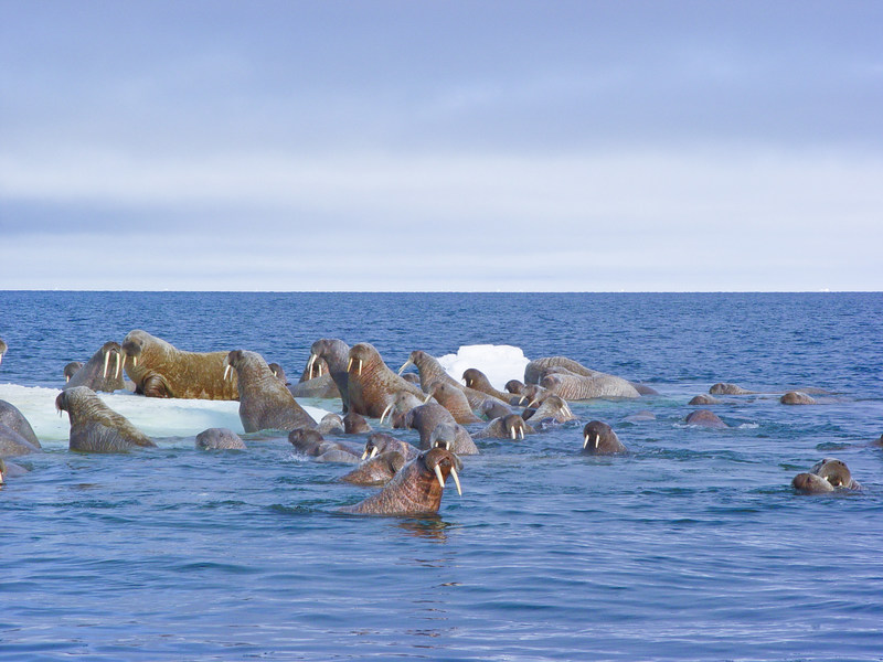 Herd of pacific walruses in the Canadian arctic. (CNW Group/Shell Canada Limited)