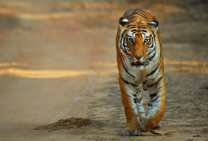 Seeing a tiger in the wild in India is an experience of a lifetime. (CNW Group/Breathedreamgo)