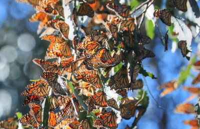 Marvel at Migrating Monarch Butterflies at two locations along the CA Highway 1 Discovery Route.