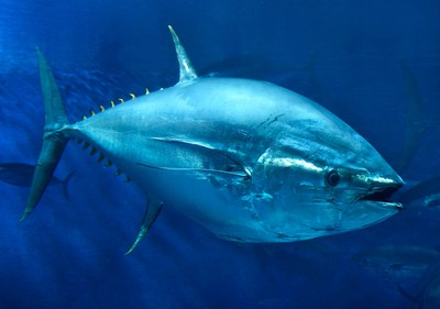 Pacific bluefin tuna swims in the Open Sea exhibit at Monterey Bay Aquarium. Photo © Monterey Bay Aquarium/Randy Wilder