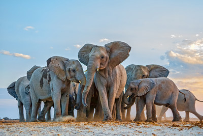 African elephants, Photo by Susan McConnell