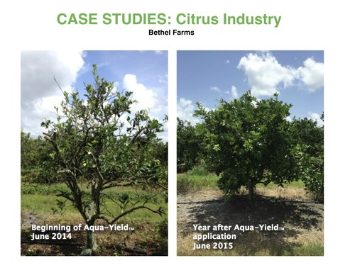 Florida citrus tree before and after Aqua-Yield technology with TriYield nutritional products
