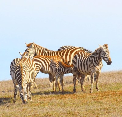 Have you seen the wild Zebras along the CA Highway 1 Discovery Route yet?