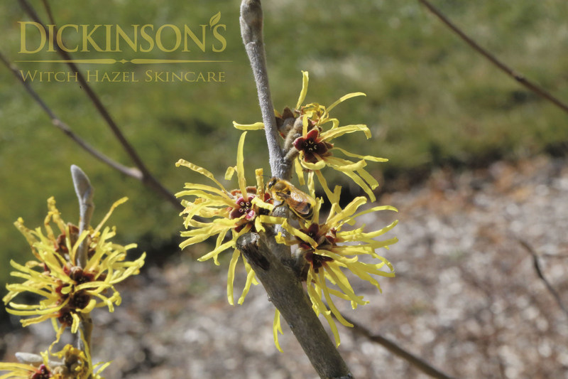 Bee Feeding on Pollen on a Witch Hazel plant at the Dickinson Brands Inc.'s factory in East Hampton, CT