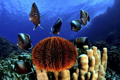 La Isla de Pascua es el hogar de muchas especies endémicas, incluyendo el pez mariposa de Isla de Pascua.  Credit: Eduardo Sorensen/The Pew Charitable Trusts (PRNewsfoto/Pew Bertarelli Ocean Legacy Cam)