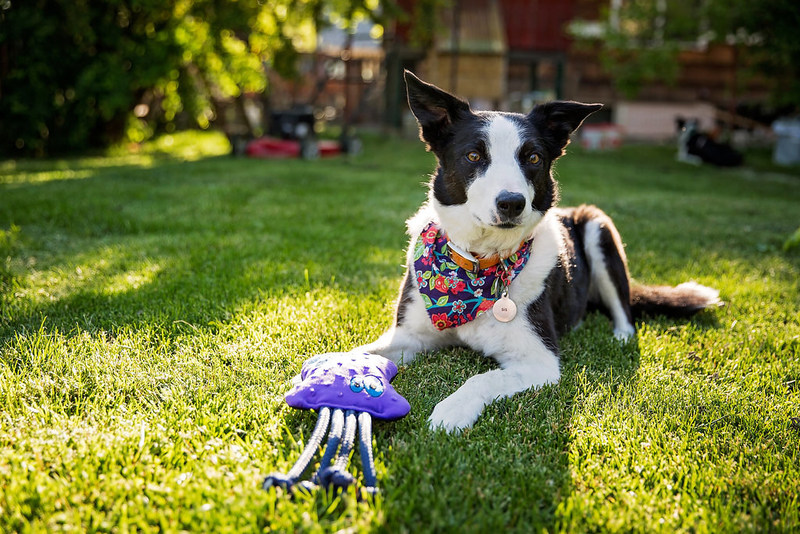 Border Collie with Octopus dog toy from WO, part of the WO Wild collection of dog toys. USA-made dog toys that each provide 2 meals for orphaned children and widows with each sale. Learn more at supportWO.com. #buyonegivetwo
