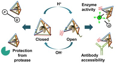 Schematic presentation of the reversible regulation of enzyme activity by pH-sensitive DNA nanocage
