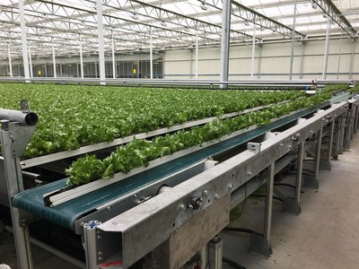 The Green Automation hydroponic NFT growing system is fully automated from medium filling and seeding to harvesting. The lettuce is moved automatically through the greenhouse during the entire growing process. Picture: Conveyor belt transporting the lettuce to the harvesting station.  (Image courtesy of: Green Automation)