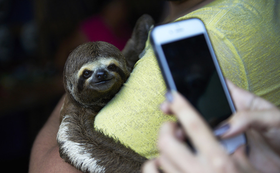 Local sloths are taken from the wild and used for harmful selfies with tourists, in Manaus, Brazil. World Animal Protection / Nando Machado (CNW Group/World Animal Protection)