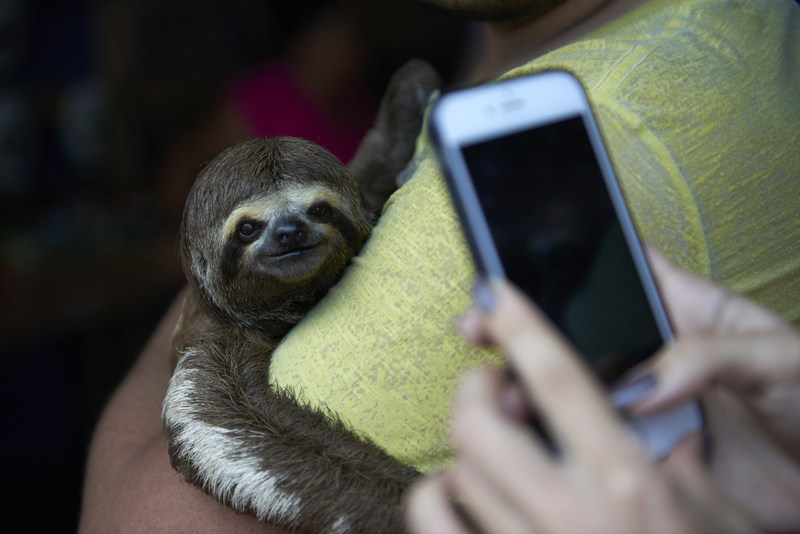 Local sloths are taken from the wild and used for harmful selfies with tourists, in Manaus, Brazil. (C) World Animal Protection / Nando Machado