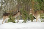 Desperate deer turn winter into the most dangerous season for pricey landscape plants