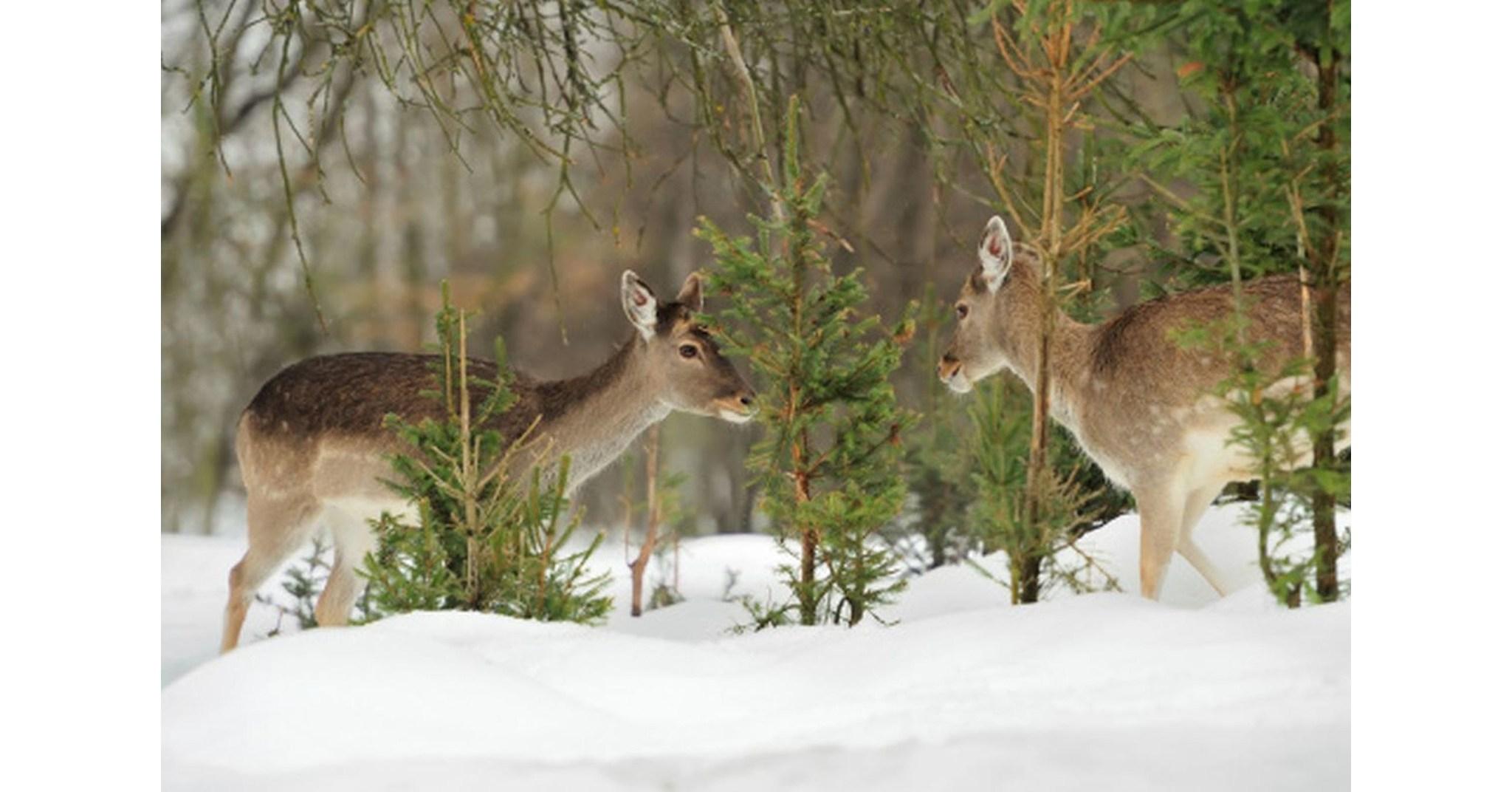 Les cerfs d sesp r s transforment l 39 hiver en saison la for Couvrir les plantes en hiver