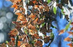 Record Number of Monarch Butterflies Start Migration Early in Morro Bay