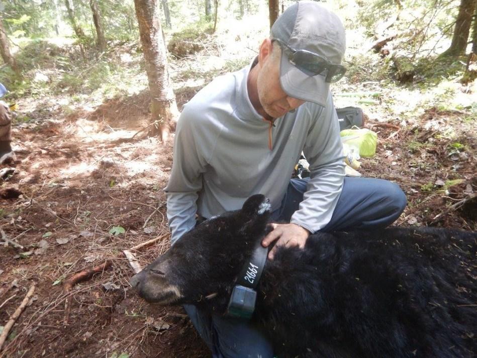 Le biologiste responsable de la gestion de l'ours en Outaouais, André Dumont, lors de l'installation d'un collier émetteur sur un ours endormi. (Groupe CNW/Ministère des Forêts, de la Faune et des Parcs)