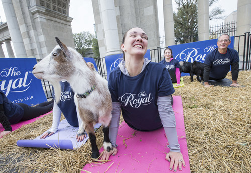 The 95th Royal Agricultural Winter Fair kicks-off this Friday and to celebrate, organizers hosted a special pop-up goat yoga session in downtown Toronto. Sarah Fournier, and her new pal practice upward facing dog…or goat in front of the Princes' Gate. Photo Credit: Ben Radvanyi (CNW Group/Royal Agricultural Winter Fair)