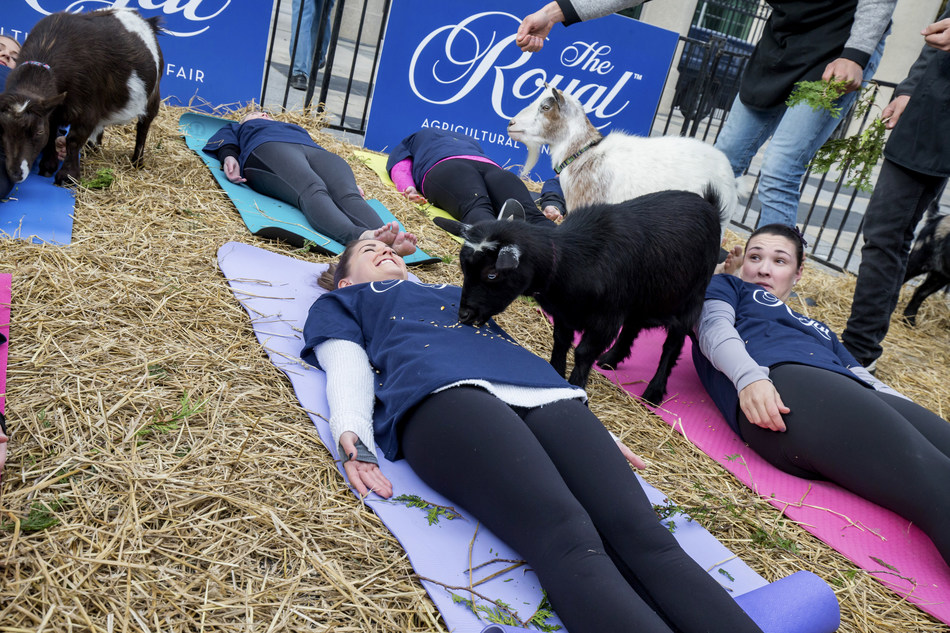 The surprising side of goat yoga. The 95th Royal Agricultural Winter Fair kicks-off this Friday and to celebrate, organizers hosted a special pop-up goat yoga session in downtown Toronto. Photo Credit: Ben Radvanyi (CNW Group/Royal Agricultural Winter Fair)
