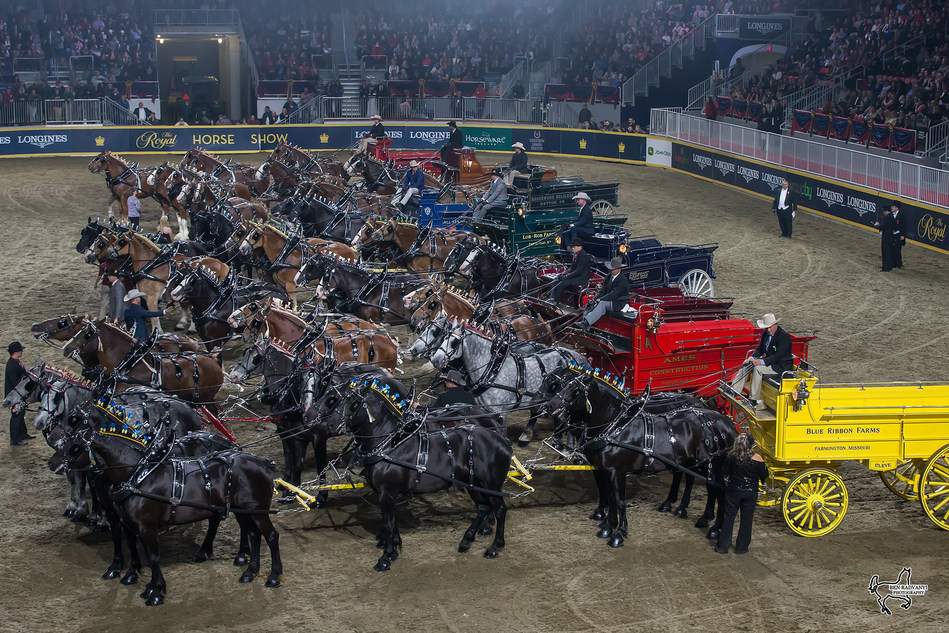 The impressive line-up of hitches in the Royal Six-Horse Draft Championship on Saturday night, November 11, at the Royal Horse Show in Toronto, ON. Photo by Ben Radvanyi Photography (CNW Group/Royal Agricultural Winter Fair)