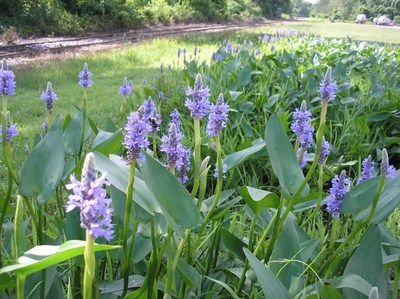 Pontederia kordaat, or pickerelweed is one of the features at the wetland area on the Roanoke Cement Richmond Terminal campus.