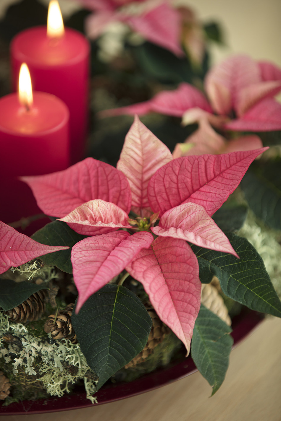 Poinsettias are on trend in pink this Christmas (PRNewsfoto/Stars for Europe)