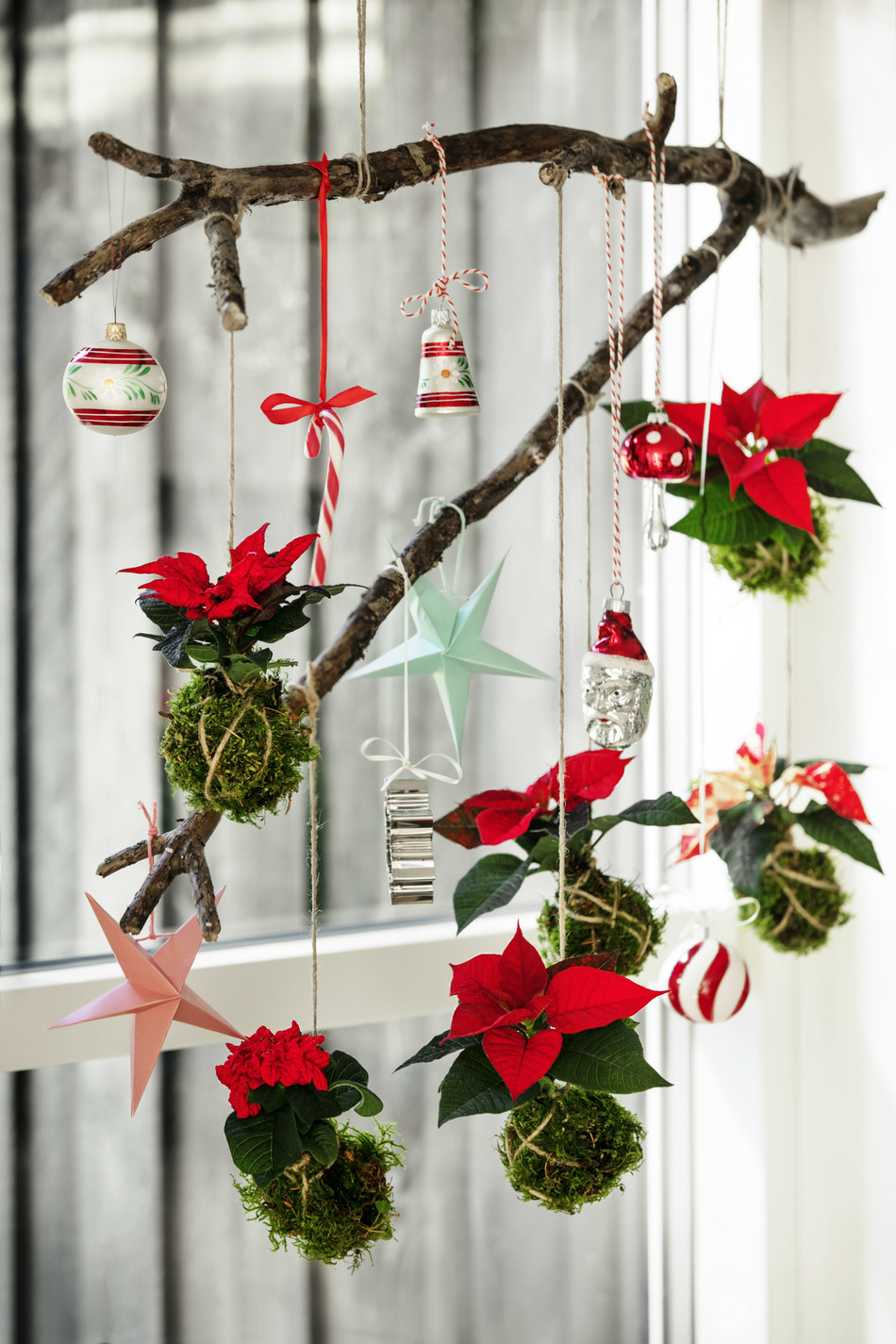 For a different way to display mini poinsettias, try encasing the root ball in moss and suspending from the ceiling. (PRNewsfoto/Stars for Europe)