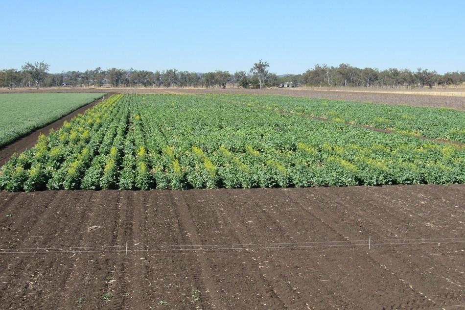 Carinata crop trials at University of Queensland, Australia (CNW Group/Agrisoma Biosciences Inc.)
