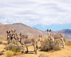 Wild burros living in Butte Valley at the southern end of Death Valley National Park.