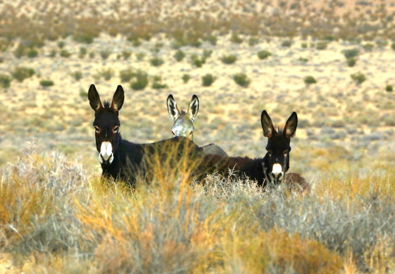 Three adult jennets (female burros) showing curiosity but not fear of the cameraman.