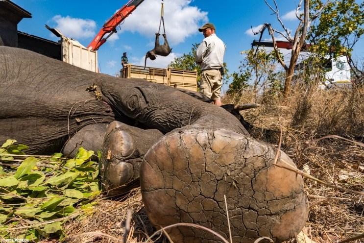 Anesthetized wild elephants carefully loaded for transport to Nkhotakota Wildlife Reserve, Malawi, during historic 500 Elephants initiative © Pete McBride (PRNewsfoto/African Parks)