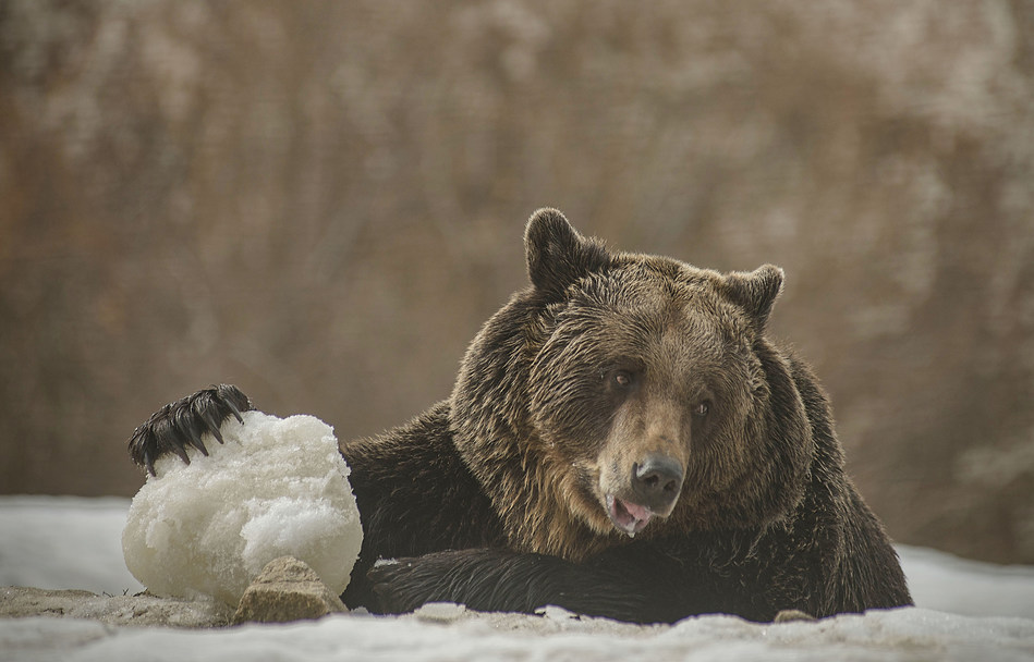 A rescued bear plays with a snowball at the World Animal Protection funded bear sanctuary in Romania. The sanctuary is run by their partner group Asociatia Milioane De Prieteni who provide a safe home for bears rescued from captivity and poor quality zoos. (CNW Group/World Animal Protection)