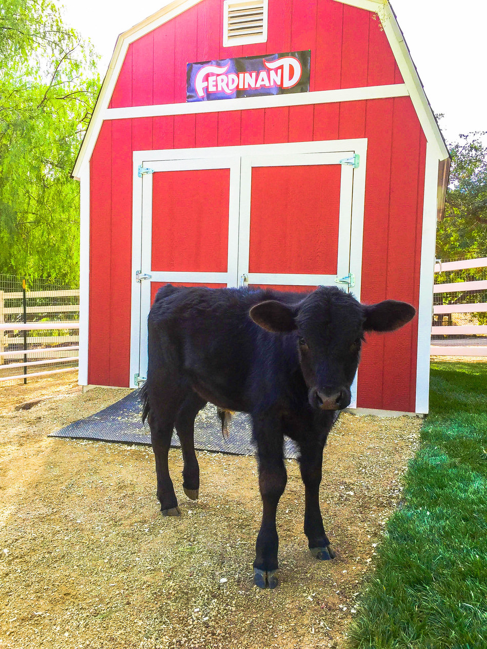 This is Ferdinand standing in front of his new house at The Gentle Barn in California. You can visit him on Sundays from 10am-2pm or schedule a private tour through the website www.gentlebarn.org