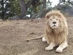 Rare White Lion Released to New Sanctuary Habitat