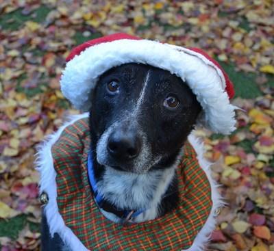 Sacramento SPCA adoptable dog, Vinny