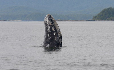 Grey Whale © Jim Darling, Pacific Wildlife Foundation (CNW Group/Committee on the Status of Endangered Wildlife in Canada)