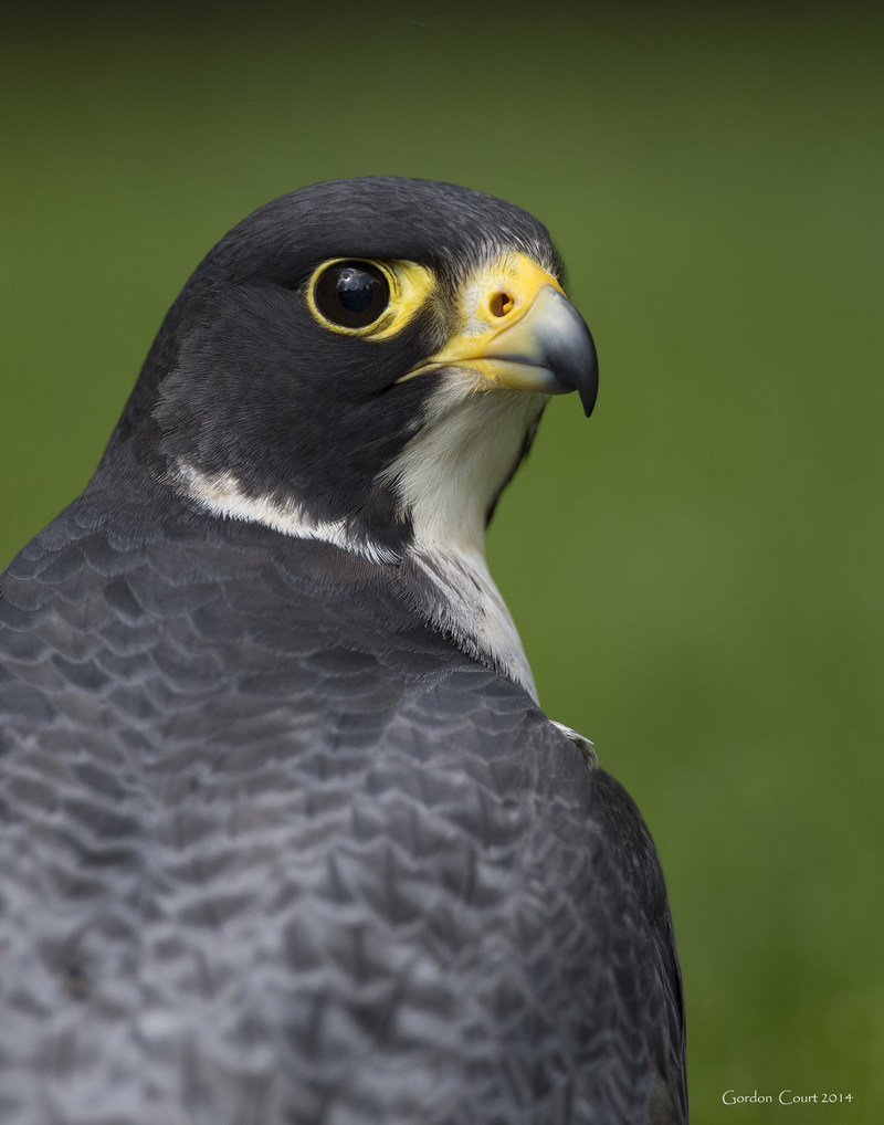 Faucon pèlerin © Gordon Court (Groupe CNW/Comité sur la situation des espèces en péril au Canada)
