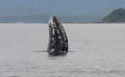 Baleine grise © Jim Darling, Pacific Wildlife Foundation (Groupe CNW/Comité sur la situation des espèces en péril au Canada)
