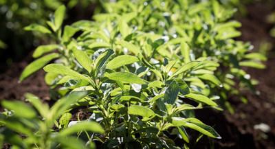 PureCircle stevia plants