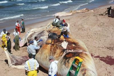 Crédit photo : Gilbert Boyer, bénévole pour le Réseau québécois d'urgences pour les mammifères marins (Groupe CNW/Association des médecins vétérinaires du Québec)