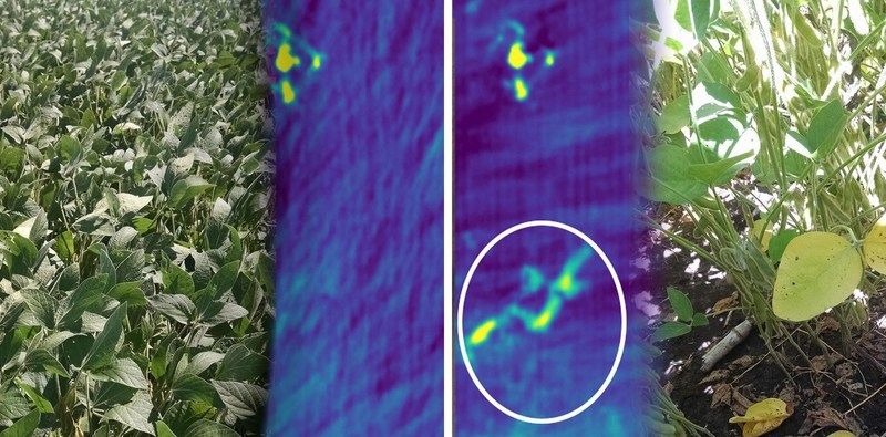 Ceres proved helpful identifying outbreaks of Cercospora beneath a healthy-looking soybean canopy.