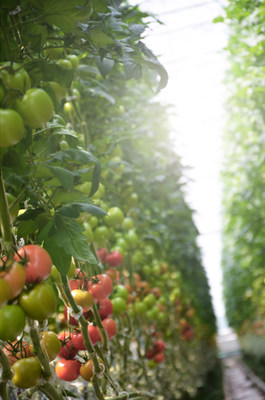 Tomatoes growing at Les Serres Bertrand (CNW Group/Canopy Growth Corporation)