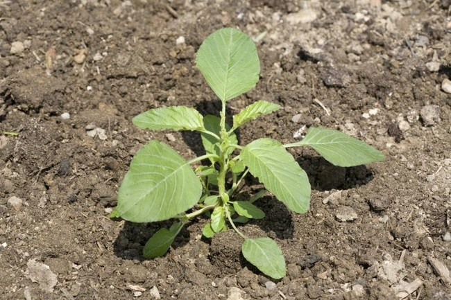 You can compound the loss when you factor in the fact that driver weeds, such as Palmer amaranth and waterhemp, can develop resistance to some herbicides. Pictured is a small waterhemp plant.