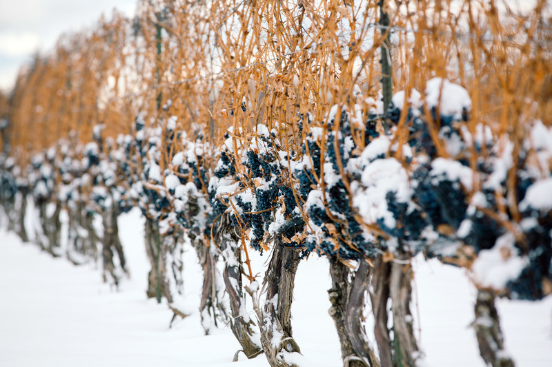 VQA Ontario Icewine on the Vine (CNW Group/Wine Marketing Association of Ontario)
