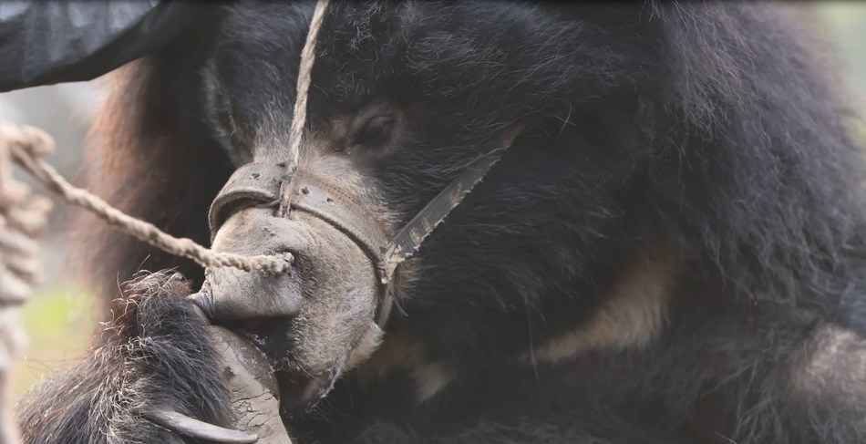 Dancing bears are stolen from their mothers and subjected to brutal training techniques to make them submissive enough to perform for tourists. The rescued bears were in an extremely distressed state when they were rescued, displaying signs of psychological trauma. (c) World Animal Protection.