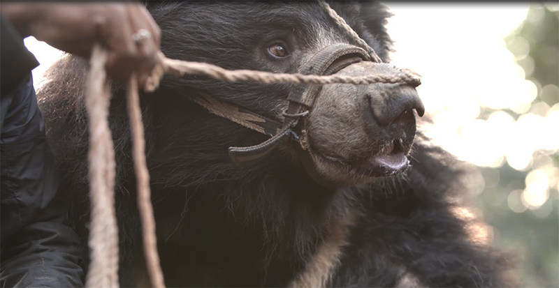 """The last two known """"dancing bears"""" in Nepal have been rescued. The bears will receive veterinary care at a wildlife reserve until they can be moved permanently to a bear sanctuary. Photo: World Animal Protection (CNW Group/World Animal Protection)"""