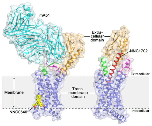 The crystal structures of the full-length human glucagon receptor (GCGR): orange (extracellular domain), blue (transmembrane domain), green (stalk), magenta (the first extracellular loop), red (NNC1702), yellow (NNC0640) and cyan (mAb1). (Image by Dr. WU Beili) (PRNewsfoto/Shanghai Institute of Materia M)