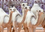 Camels ready to compete in the King Abdulaziz Camels Beauty Pageant (PRNewsfoto/King Abdulaziz Camels Festival)