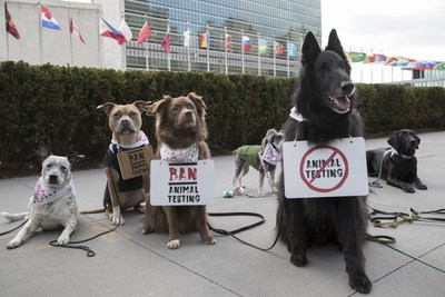A group of dogs gather outside the United Nations Headquarters to campaign against animal testing in cosmetics on Wednesday 24 January 2018, in New York. The protest is in support of Forever Against Animal Testing, a campaign from The Body Shop and Cruelty Free International which is calling on the UN to end a practice that harms up to 500,000 animals in cruel tests every year. The Body Shop and Cruelty Free International have met with UN representatives to discuss the topic and further the campaign. Consumers around the world can join the protest online by signing the campaign petition https://foreveragainstanimaltesting.com/page/9583/petition/1 (Andrew Kelly/AP Images for the Body Shop) (PRNewsfoto/The Body Shop)
