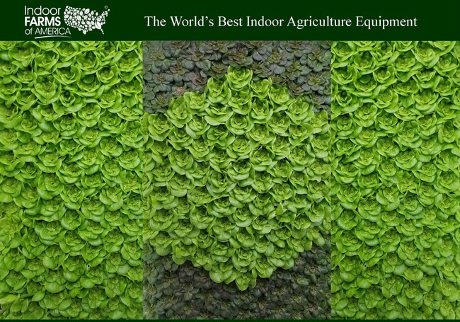 Indoor Farms of America Beautiful Butter Lettuce Wall